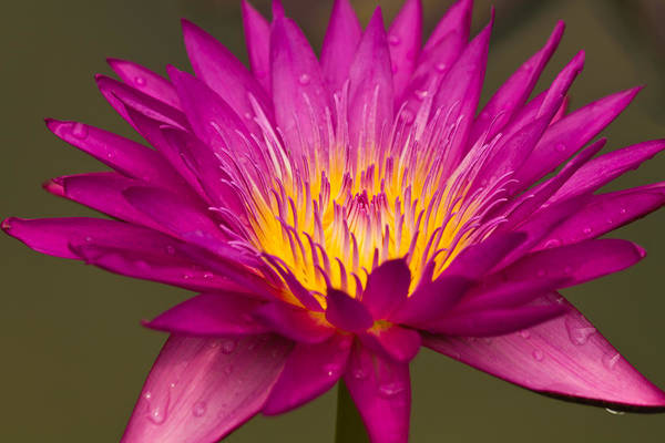 Virtue Photograph - Close Up Of Pink Water Lily by Tosporn Preede