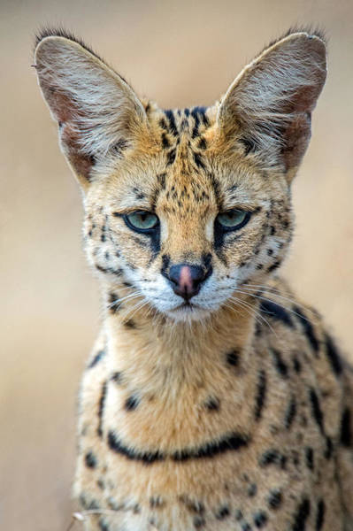 Wall Art - Photograph - Close-up Of Serval Leptailurus Serval by Panoramic Images