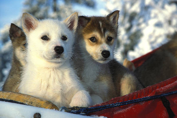 Weary Photograph - Close Up Of Siberian Husky Puppies by Nick Norman