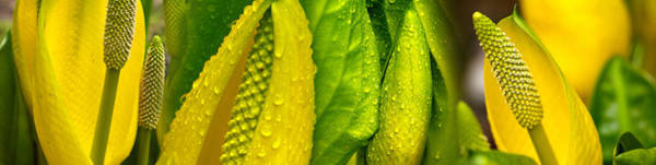 Skunk Photograph - Close-up Of Skunk Cabbage Symplocarpus by Panoramic Images