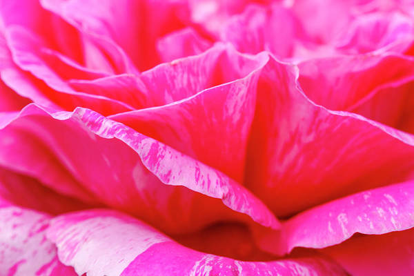 Photograph - Close Up Of Variegated Pink And White Rose Petals by Teri Virbickis