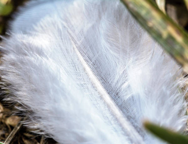 Photograph - Close Up Of White Feather On Grass by Jacek Wojnarowski