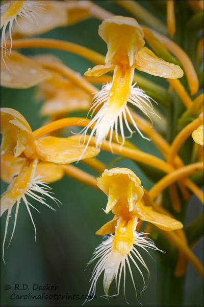 Photograph - Close-up Of Yellow Fringed Orchid by Bob Decker