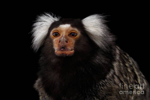 Wall Art - Photograph - Close-up Portrait Of Common Marmoset, Callithrix Jacchus Isolated Black Background by Sergey Taran