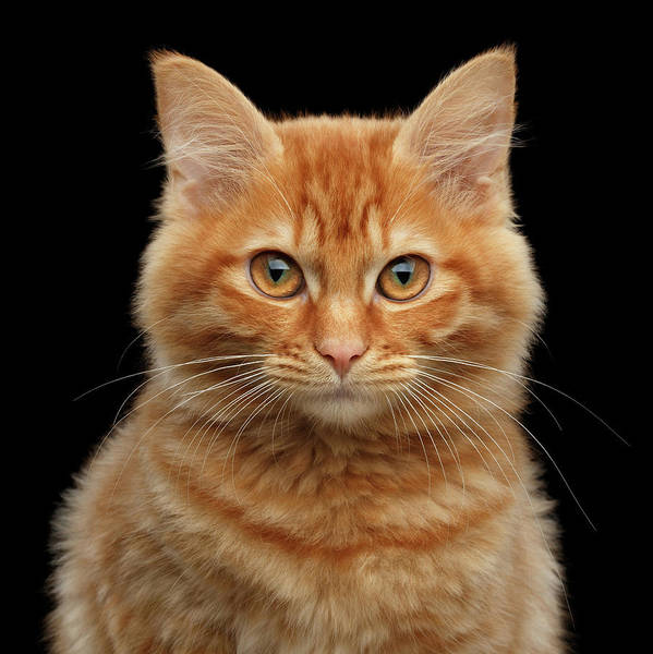 Cat Photograph - Close-up Portrait Of Ginger Kitty On Black by Sergey Taran