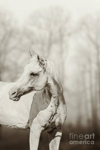 Photograph - Close Up Portrait Of Lone White Horse by Dimitar Hristov