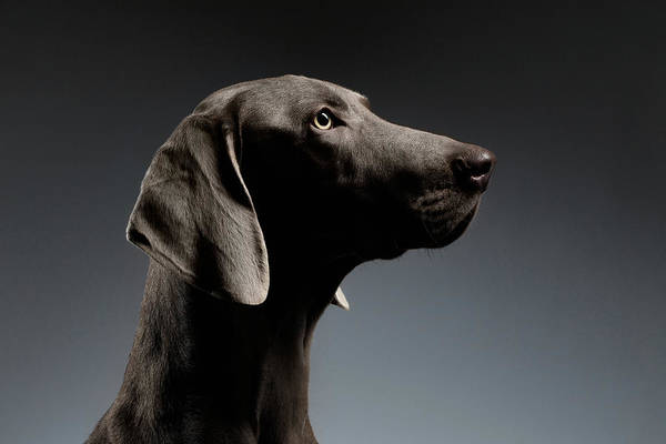 Dogs Photograph - Close-up Portrait Weimaraner Dog In Profile View On White Gradient by Sergey Taran