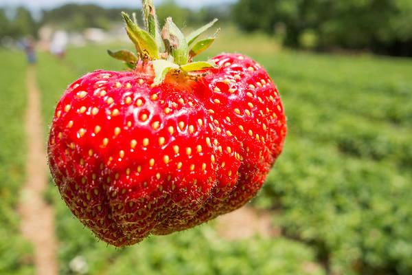 Photograph - Close Up Shot Strawberry With Planting Strawberry Background by Alex Grichenko