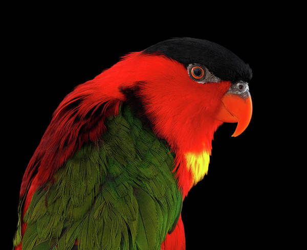 Photograph - Close-up Yellow-bibbed Lory, Lorius Chlorocercus, Isolated On Black Background by Sergey Taran