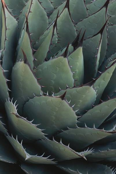 Chihuahuan Desert Photograph - Close View Of An Agave Plant by Michael Melford