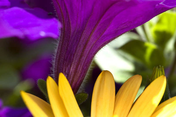 Osteospermum Hybrid Photograph - Close View Of Purple Petunia And Yellow by Todd Gipstein