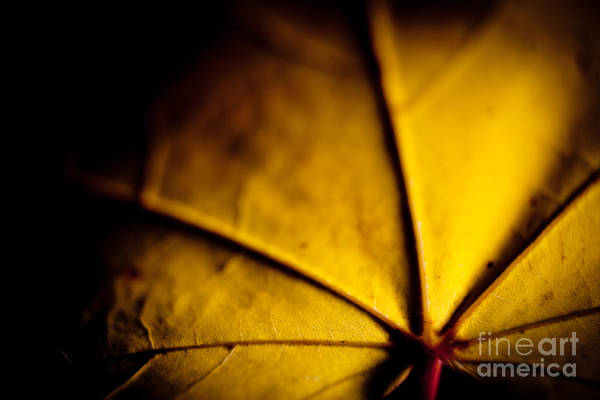 Photograph - Closeup Autumn Leaves Mapples by Raimond Klavins