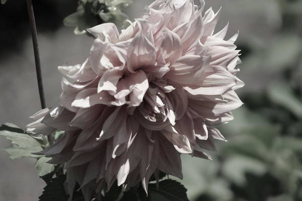 Photograph - Closeup - Blush Champagne Dahlia by Colleen Cornelius