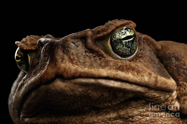 Photograph - Closeup Cane Toad - Bufo Marinus, Giant Neotropical Or Marine Toad Isolated On Black Background by Sergey Taran