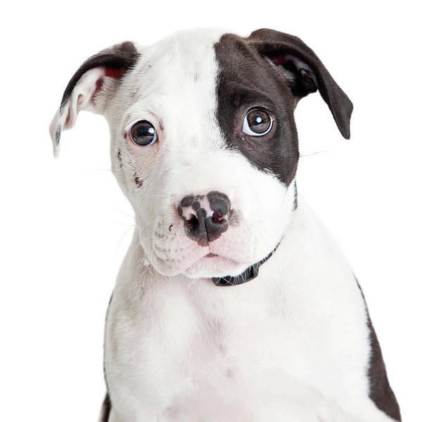 Wall Art - Photograph - Closeup Cute Pit Bull Puppy by Susan Schmitz