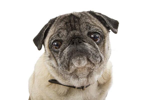 Canine Photograph - Closeup Cute Pug Dog Face by Susan Schmitz