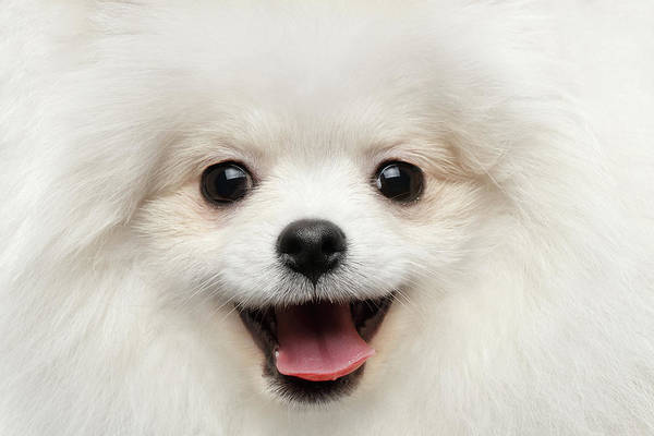 Dogs Photograph - Closeup Furry Happiness White Pomeranian Spitz Dog Curious Smiling by Sergey Taran