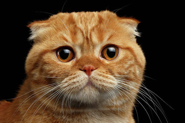 Wall Art - Photograph - Closeup  Ginger Scottish Fold Cat Looking In Camera Isolated On Black  by Sergey Taran