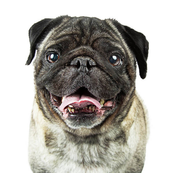 Wall Art - Photograph - Closeup Happy Purebred Pug Dog by Susan Schmitz