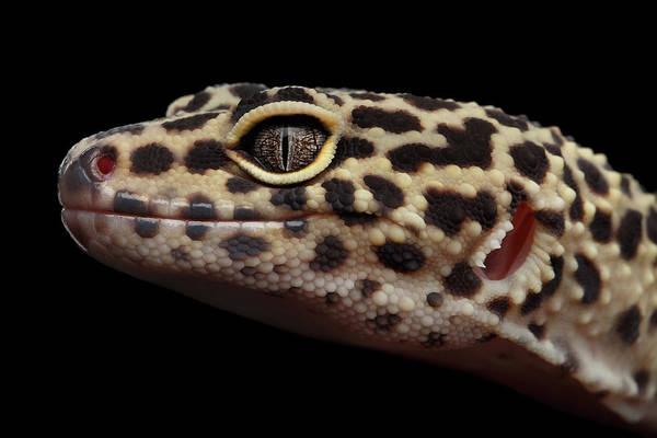 Photograph - Closeup Head Of Leopard Gecko Eublepharis Macularius Isolated On Black Background by Sergey Taran