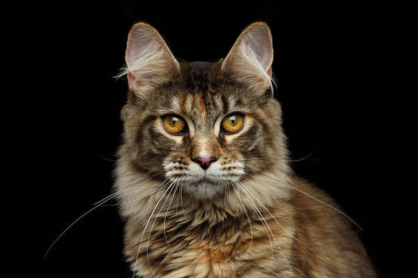 Wall Art - Photograph - Closeup Maine Coon Cat Portrait Isolated On Black Background by Sergey Taran