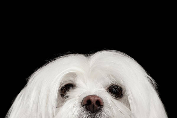 Dogs Photograph - Closeup Nosey White Maltese Dog Looking In Camera Isolated On Black Background by Sergey Taran