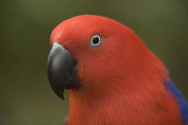 Eclectus Parrots Photograph - Closeup Of A Captive Female Eclectus by Tim Laman