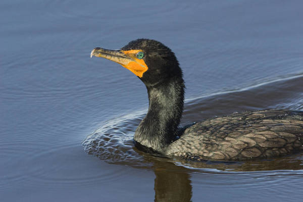 Phalacrocorax Auritus Wall Art - Photograph - Closeup Of A Double-crested Cormorant by Tim Laman