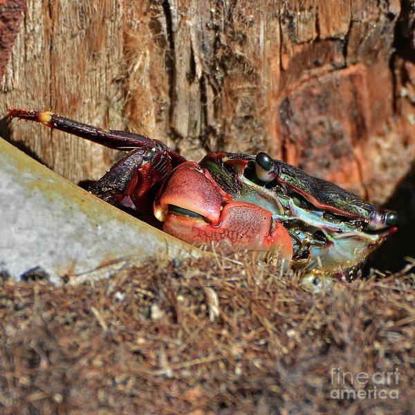 Photograph - Closeup Of A Peeking Crab by Susan Wiedmann