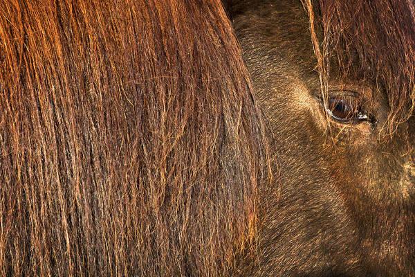 Photograph - Closeup Of An Icelandic Horse by Stuart Litoff