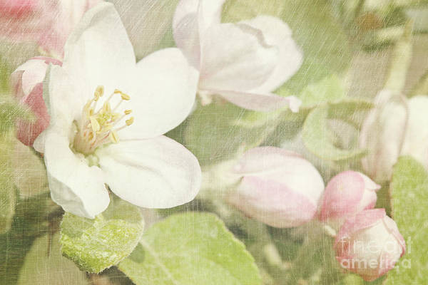 Wall Art - Photograph - Closeup Of Apple Blossoms In Early by Sandra Cunningham
