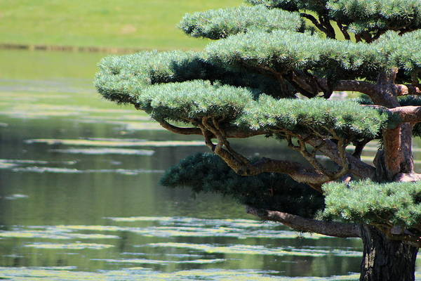 Photograph - Closeup Of Bonsai Tree By Lake by Colleen Cornelius