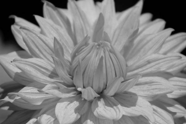 Photograph - Closeup Of Dahlia In Black And White by Colleen Cornelius
