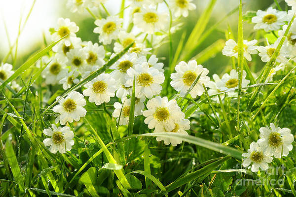 Wall Art - Photograph - Closeup Of Daisies In Field by Sandra Cunningham