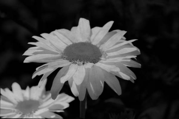 Photograph - Closeup Of Daisy In Black And White by Colleen Cornelius