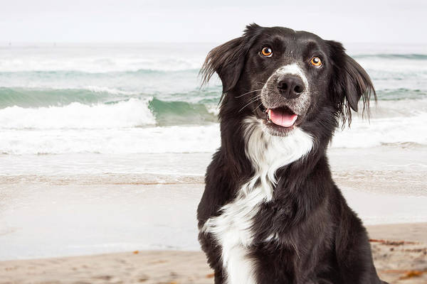 Collie Photograph - Closeup Of Happy Dog At Beach by Susan Schmitz