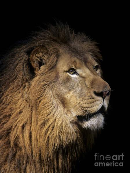 Wall Art - Photograph - Lion Head by Bill Schildge