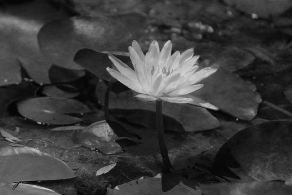 Photograph - Closeup Of Lotus Flower In Black And White by Colleen Cornelius