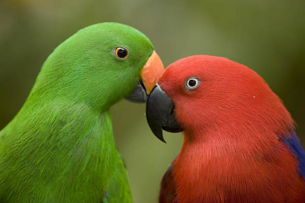 Jurong Bird Park Photograph - Closeup Of Male And Female Eclectus by Tim Laman