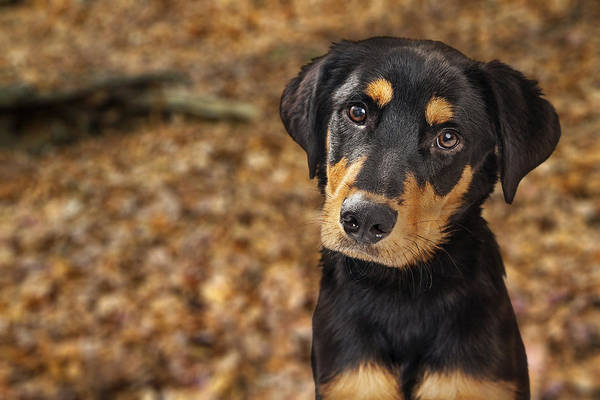 Foilage Photograph - Closeup Of Rotweiller Puppy In Autumn Leaves by Susan Schmitz