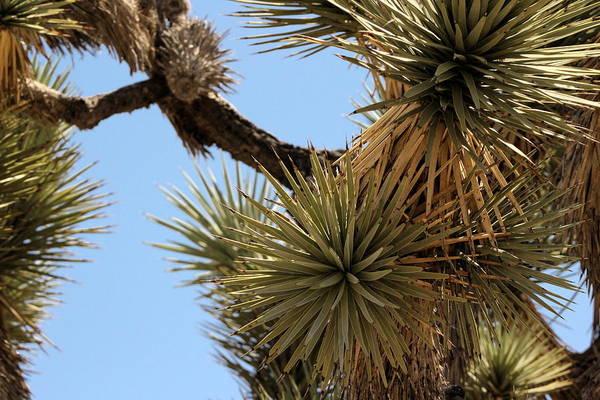 Photograph - Closeup Of Single Joshua Tree Branches by Colleen Cornelius
