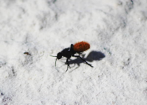 Photograph - Closeup Of Velvet Ant by Colleen Cornelius