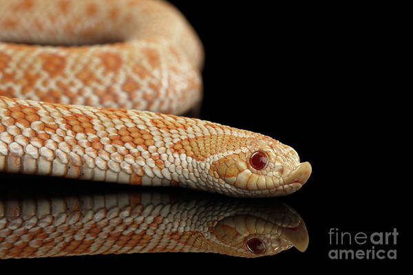 Photograph - Closeup Pink Pastel Albino Western Hognose Snake, Heterodon Nasicus Isolated On Black Background by Sergey Taran