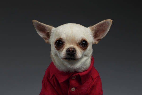 Dogs Photograph - Closeup Portrait Chihuahua Dog In Stylish Clothes. Gray Background by Sergey Taran