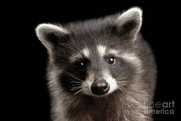 Raccoon Photograph - Closeup Portrait Cute Baby Raccoon Isolated On Black Background by Sergey Taran
