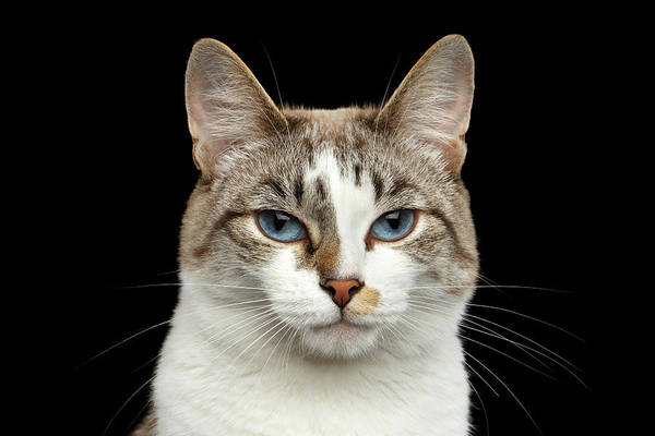 Wall Art - Photograph - Closeup Portrait Of Face White Cat, Blue Eyes Isolated Black Background by Sergey Taran