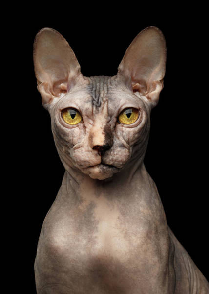 Cat Photograph - Closeup Portrait Of Grumpy Sphynx Cat, Front View, Black Isolate by Sergey Taran