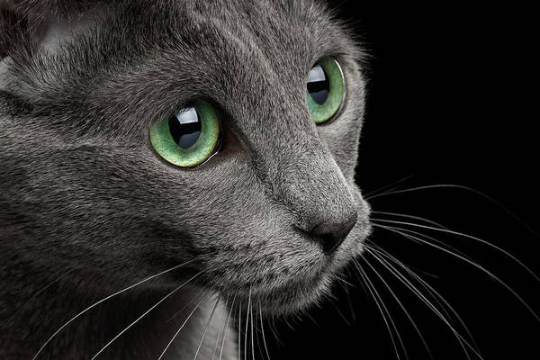 Photograph - Closeup Russian Blue by Sergey Taran