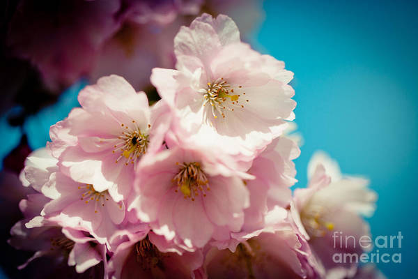 Photograph - Closeup Sakura Pink Cherry Blossoms  by Raimond Klavins