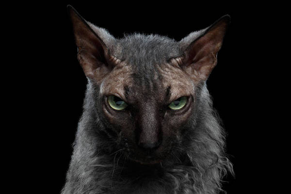 Wall Art - Photograph - Closeup Werewolf Sphynx Cat Angry Looking In Camera Isolated Black by Sergey Taran